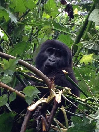 Bwindi Impenetrable National Park, Uganda: Majestic Creatures