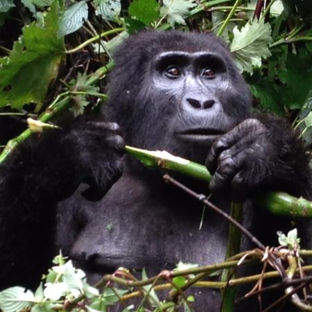 Bwindi Impenetrable National Park, Uganda: Yes they were that close
