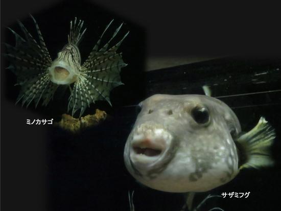 Kuji, Japonya: 泳いでいるお魚
