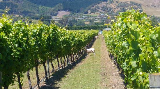 Mapua, Neuseeland: Some sheep enjoying one of the vineyards