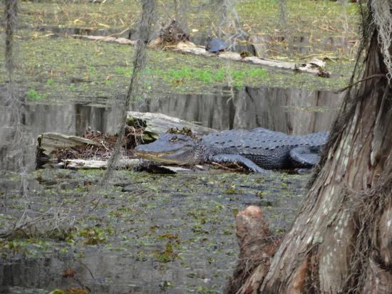 Breaux Bridge, LA: Alligator sur un tronc d'arbre.