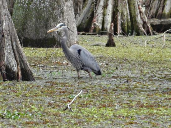 Breaux Bridge, LA: Le grand Heron Bleu
