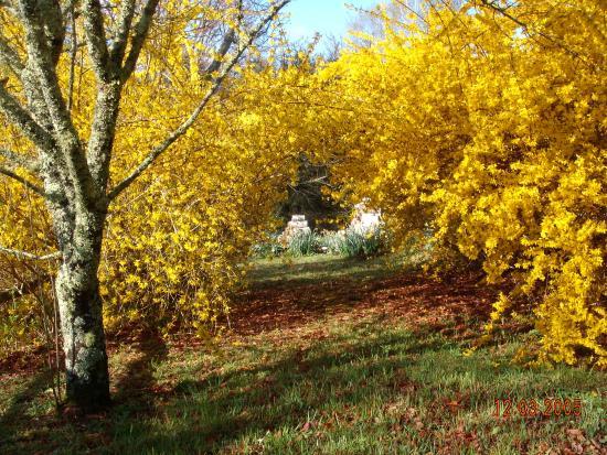 Glenville, Carolina del Norte: Spring forsythia