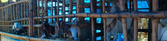 Kothamangalam, Индия: We have over 50 goats of different breeds