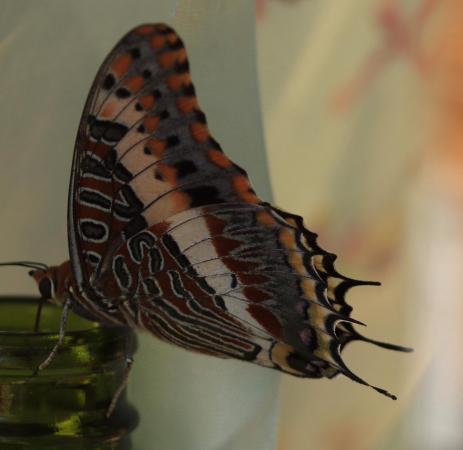 Serowe, Μποτσουάνα: Butterfly
