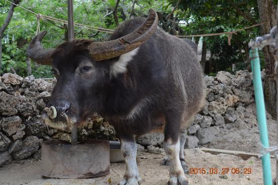 Taketomi-jima Taketomi-cho, Japonia: 休憩中の水牛その3