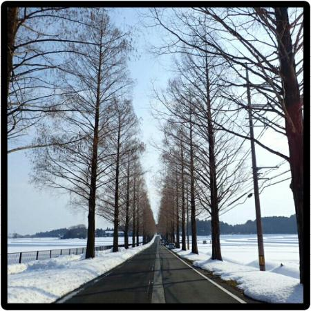 Makino Highland: 整然と並ぶメタセコイヤ
