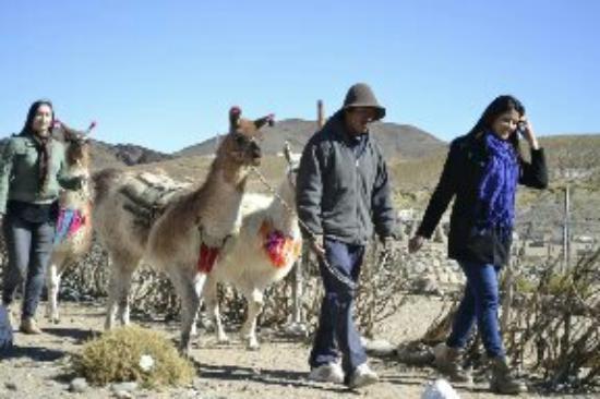 San Antonio de los Cobres, Argentina: ANATOLIO Y SUS LLAMAS Caminamos con la conpania de ellas para conoser la vida de los viajero de