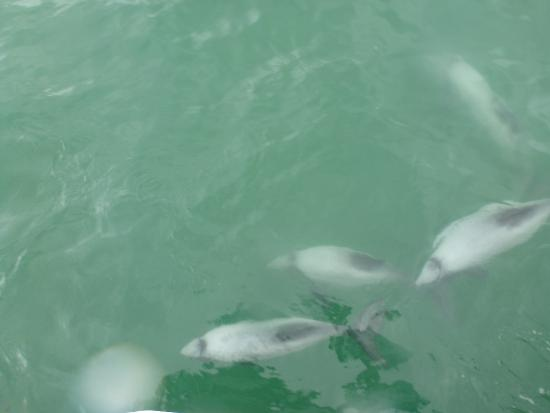 Swim with Dolphins Akaroa - Black Cat Cruises: The dolphins approached the boat, and we were eager to swim with them.