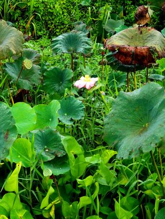A big lotus flower blooming picture of kranji marshes singapore kranji marshes a big lotus flower blooming mightylinksfo Image collections