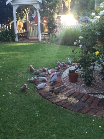 Adamson's Riverside Accommodation: Galahs that came to have a feed just before dinner. When we came back, ducks had taken over.