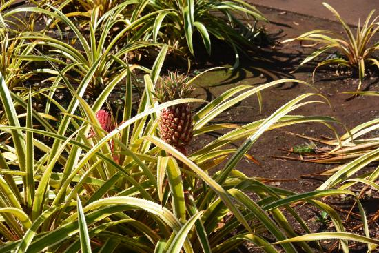 Wahiawa, HI: Pineapple plant