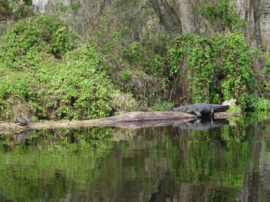 Canoe Escape: Alligator