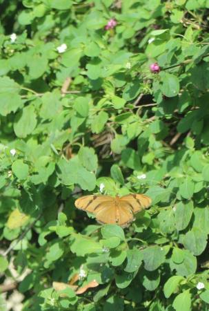 Dagny Johnson Key Largo Hammock Botanical State Park : Julia Heliconian Butterfly