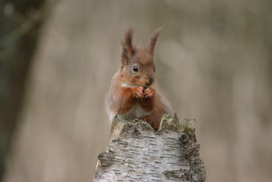 Native red squirrels in Kielder Water & Forest Park