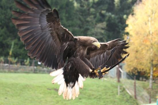 Sima the white tailed sea eagle at Kielder Birds of Prey