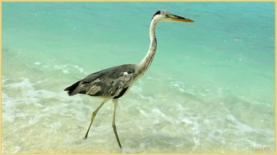 Veligandu Island Beach : Fisch Reiher am Strand