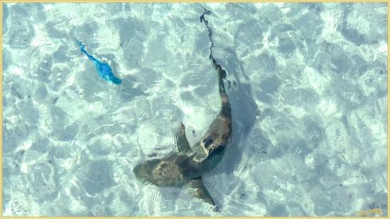 Veligandu Island Beach : Jagender Hai in der Lagune; Schwarzspitzen Riff Hai ca 1,5 m: völlig ungefährlich