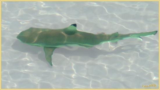 Veligandu Island Beach : Der Selbe Hai neben mir....