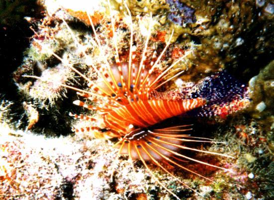 Veligandu Island Beach: Korallen, Feuerfisch