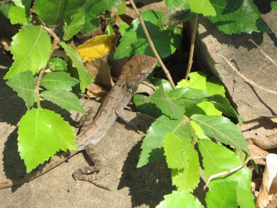 Banteay Meanchey Province, Cambodja: Gecko
