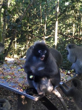 The Crags, Afrika Selatan: Monkeyland Primate Sanctuary