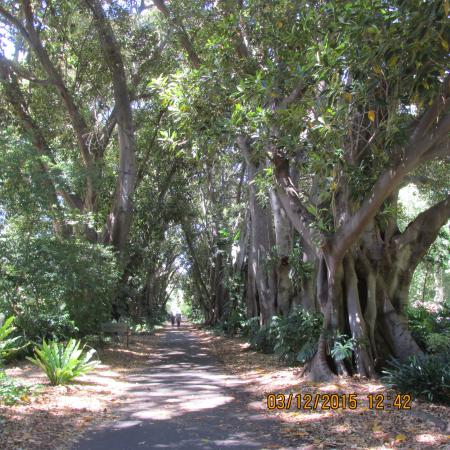 Enjoy the wide paths and shade of the awesome moreton bay for Garden trees adelaide
