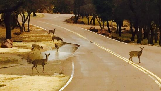 Lone Wolf, OK: Deer crossing the road to the resort.