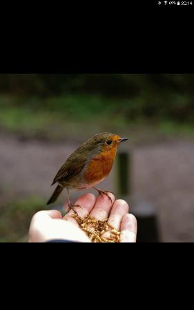 Tamworth, UK: Hand feeding the Robins