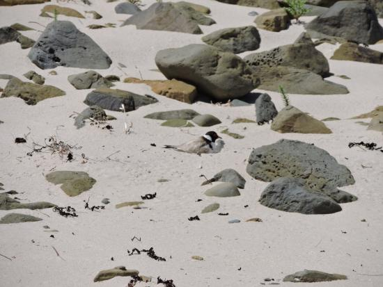 Carrickalinga, Australië: An endangered species of plover nests on this beach