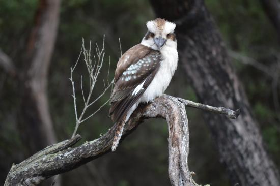 Freycinet National Park, Australia: This beautiful kookaburra followed us through the forest on the way to Cape Tourville.