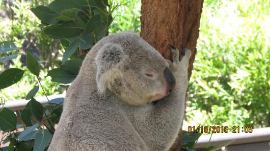 Mosman, Australien: AAAhhh sleepy koala