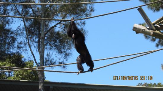 Mosman, Australien: Chimpanzees