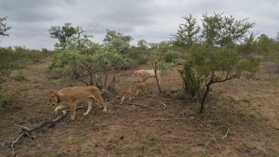 Timbavati Private Nature Reserve, Sudafrica: spotting a white lion!