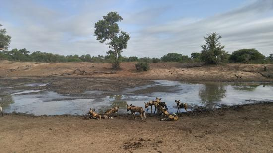 Timbavati Private Nature Reserve, Sudafrica: wild dogs
