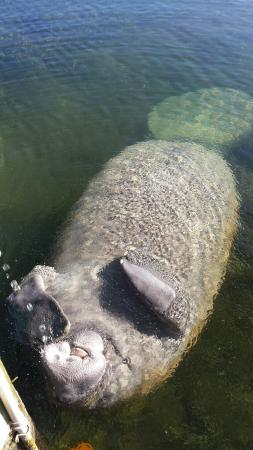 Island Bay Resort: Beautiful and gentle manatee right at the dock