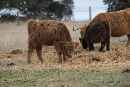 Phillip Island, Australie : Young Highland Cattle graze at feeding time