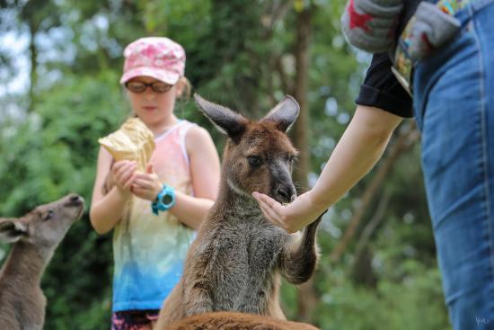 Gosford, Australia: My wife (right) feeding a kangaroo
