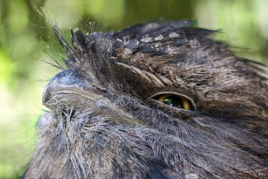 Gosford, Australia: The awesome Tawny Frogmouth.