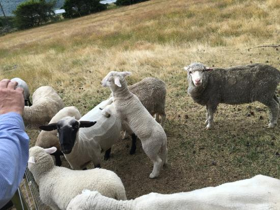 Arthur's Pass National Park, นิวซีแลนด์: sheep