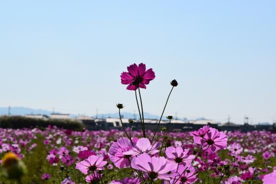 Kashihara, Japonya: コスモス畑4