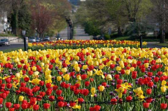 Frankfort, KY: Tulips in fron of the Capital Building
