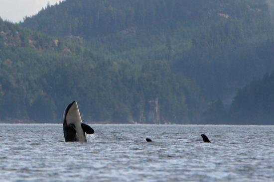 Port McNeill, Canadá: Orca spyhopping in the strait