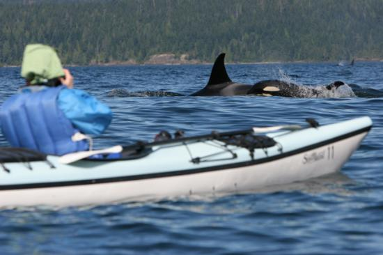 ‪‪Port McNeill‬, كندا: Orcas swimming by kayak group‬