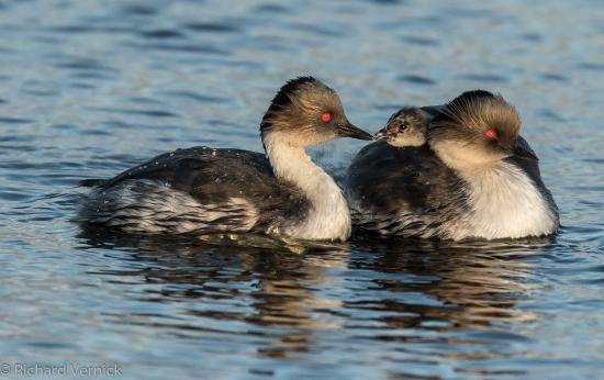 Malvina Oeste, Islas Malvinas: Silver Grebe and chicks