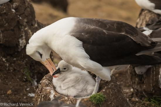 Malvina Oeste, Islas Malvinas: Albatross parent returned from the sea