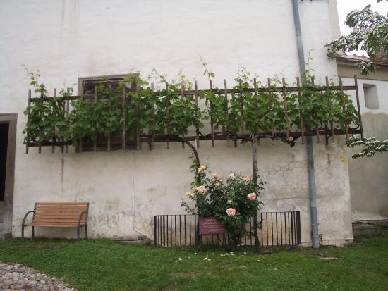 Ptuj, Slovenia: A cutting off the oldest vine in the world at Maribor