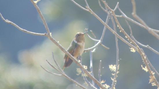 San Gerardo de Dota, Costa Rica: Un colibrí  observado en la Pizzería Joannes Paulus