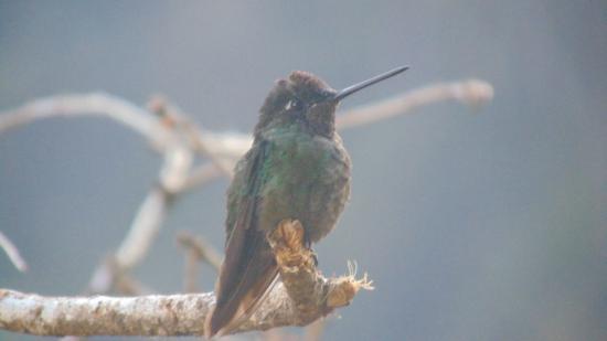 San Gerardo de Dota, Costa Rica: un colibrí observado en la Pizzería