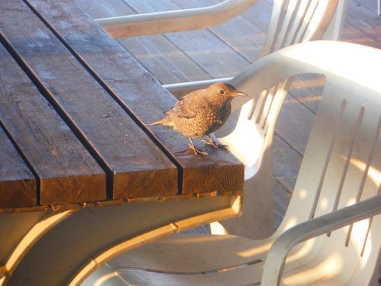 Tokashiki-son, Japonia: かわいい野鳥です。朝ごはんの時に、森の中から、登場します。パンが大好きです。名前が、ぴーちゃんです。